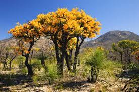 golden banksia
