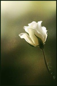 white rose.