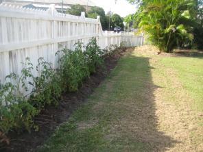 Hedge with tomatoes